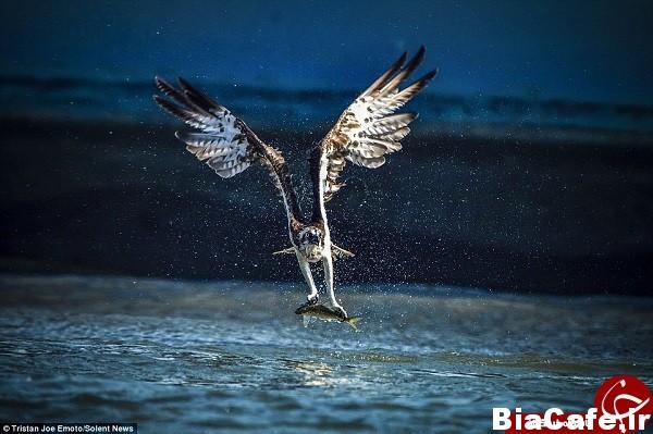 لحظه تماشایی شکار عقاب +تصاویر